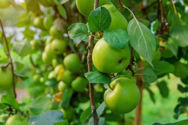 Maçãs no ramo de árvore de maçã. foco seletivo.