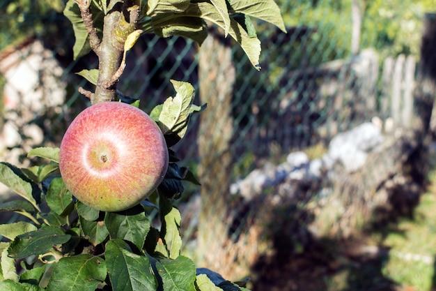Maçãs orgânicas penduradas em um galho de árvore em um pomar de maçã