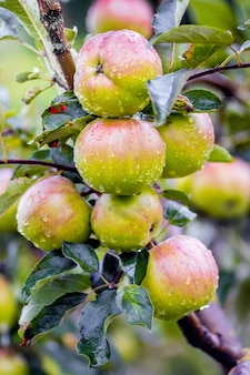 Maçãs suculentas maduras com gotas de orvalho em um jardim em um galho de árvore