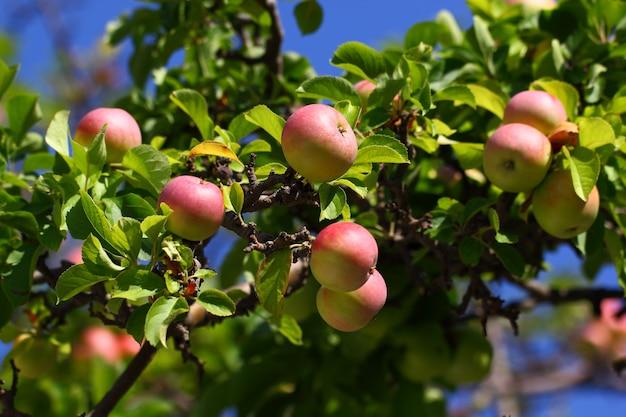 Maçãs verde-vermelhas estão penduradas maduras em um galho de árvore entre as folhas.