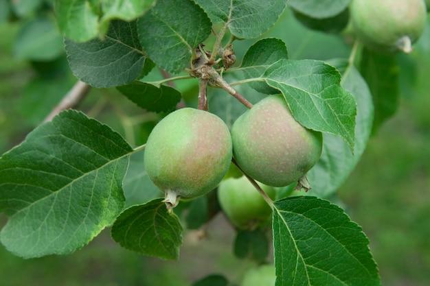 Maçãs verdes crescem em uma macieira