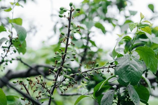 Maçãs verdes crescendo nos galhos de árvores close-up