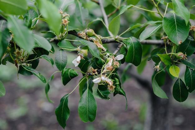 Maçãs verdes crescentes nos galhos de close-up de árvores.