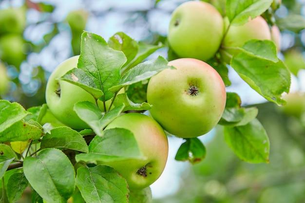 Maçãs verdes frescas, naturais, orgânicas e suculentas, maçãs em um galho de uma árvore