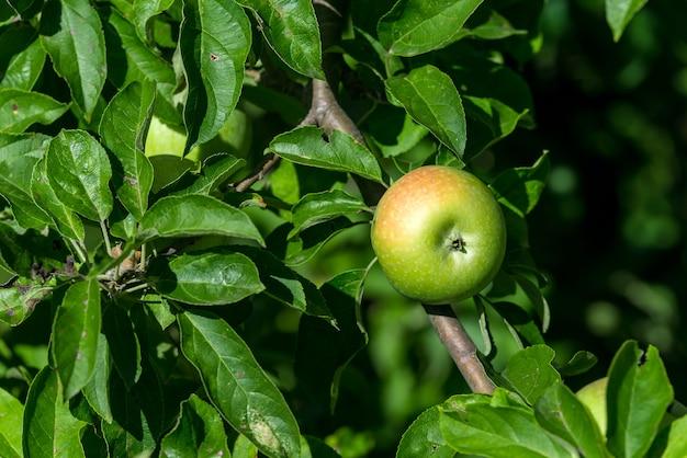 Maçãs verdes maduras crescem em um galho entre a folhagem verde