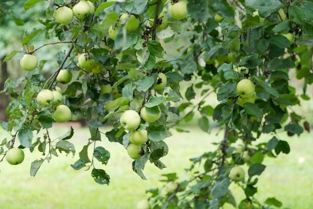 Maçãs verdes maduras em um galho de árvore