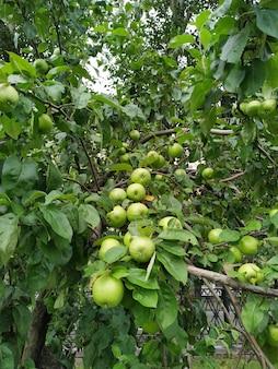 Maçãs verdes na árvore do pomar.