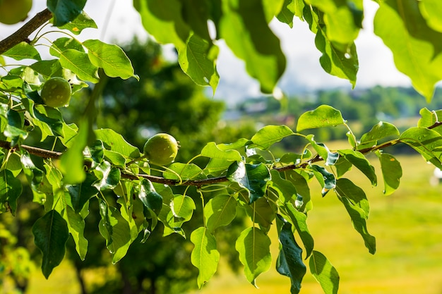 Maçãs verdes na árvore. savsat, artvin - turquia