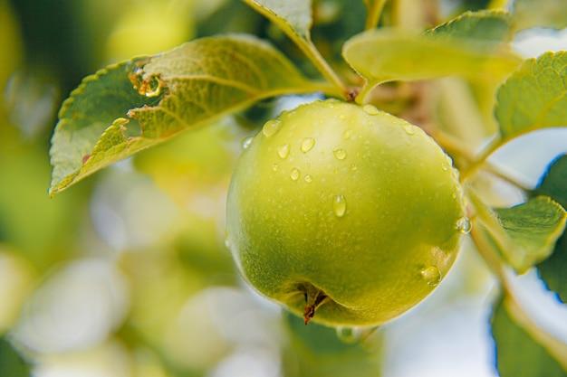 Maçãs verdes perfeitas crescendo em árvore em maçã orgânica em jardim estilo country