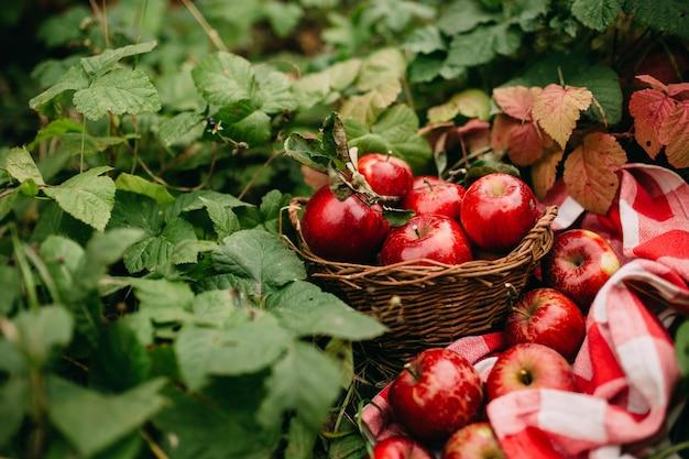 Maçãs vermelhas na cesta, jardim de outono, época da colheita. foto de alta qualidade