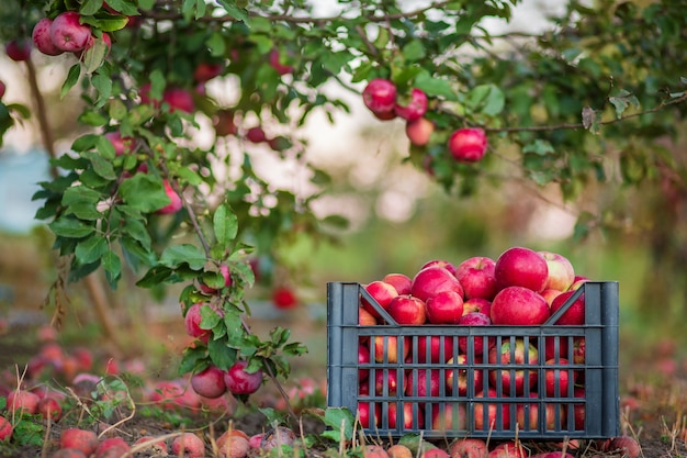 Maçãs vermelhas orgânicas em uma cesta, debaixo de uma árvore no jardim
