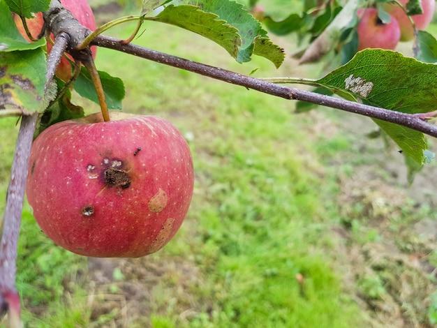 Maçãs vermelhas podres estão penduradas em um galho no jardim uma maçã comida por parasitas está pendurada em uma árvore
