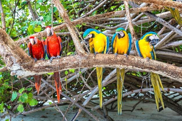 Macaw (ara ararauna) papagaios no galho da árvore