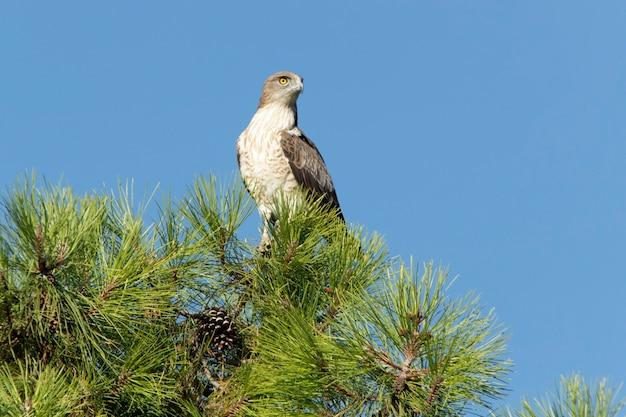 Macho adulto da águia-cobreira em um pinheiro com a primeira luz de um dia ensolarado