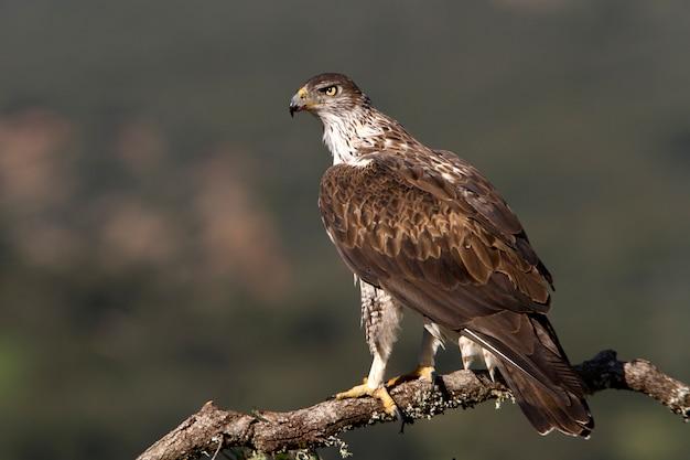 Macho adulto da águia de bonelli, aves de rapina, pássaros