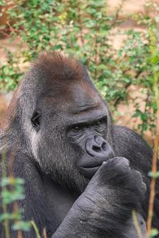 Macho adulto gorila da planície ocidental, (gorila gorila gorila), com vegetação e rochas