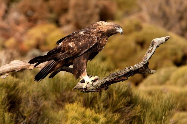 Macho adulto velho de águia dourada. aquila chrysaetos