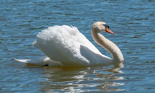 Macho cisne se exibindo na água