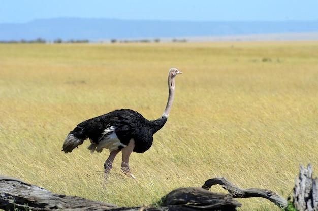 Macho de avestruz africana no parque da reserva nacional