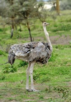 Macho de avestruz africana (struthio camelus) no parque de reserva nacional