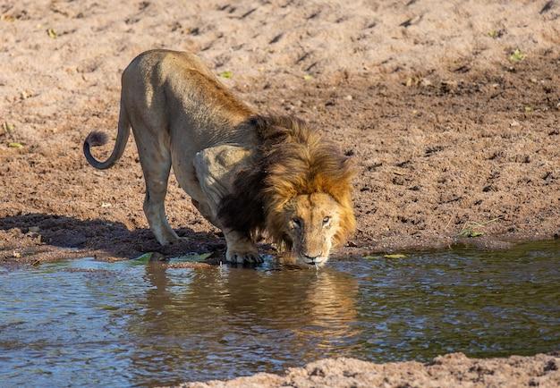 Macho de leões grandes está bebendo água de um pequeno rio.