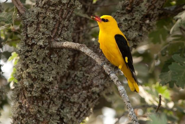 Macho de oriole dourado, canto dos pássaros, oriolus oriolus