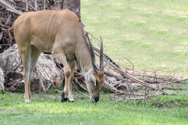 Macho defassa waterbuck eatting grama no jardim