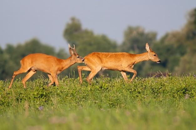Macho dos cervos de ovas que aspira a fêmea no prado durante o verão.