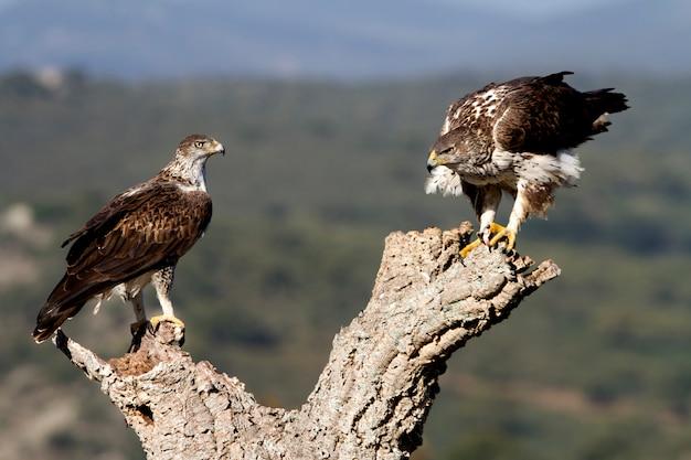Macho e fêmea adultos da águia de bonelli