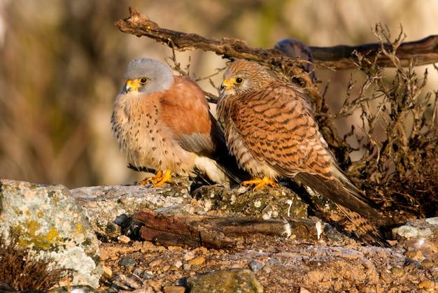 Macho e fêmea de peneireiro na época de acasalamento, falcão, pássaros, raptor, falcão, falco naunanni