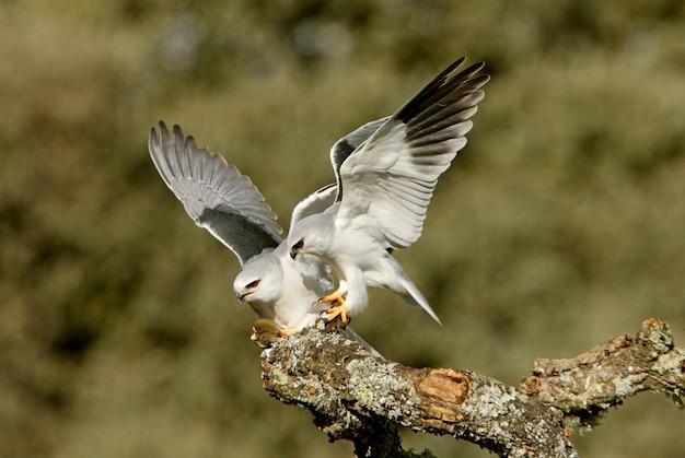 Macho e fêmea de pipa de ombro preto, mudando um rato na época de reprodução com as primeiras luzes do dia, kie, falcão, falcão, pássaro, elanus caeruleus