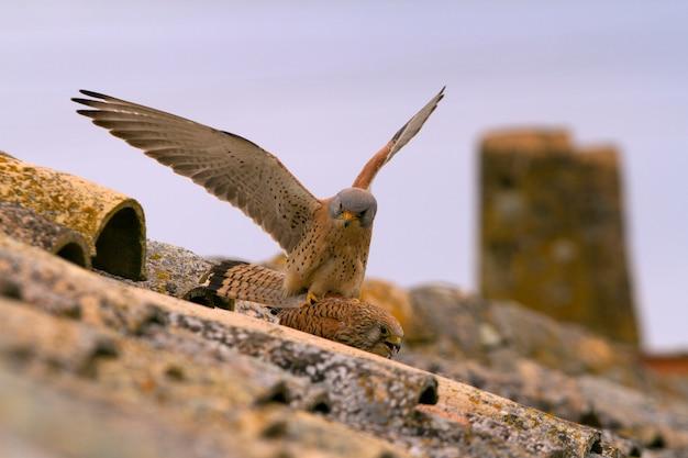 Macho e fêmea do acasalamento do falcão, aves, raptor, falcão, falco naunanni