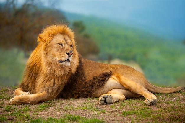 Macho leão, tendo, um, descanso, mentindo, ligado, a, montanha