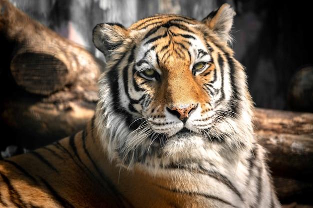 Macho lindo tigre na natureza