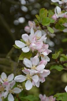 Macieira com flores desabrochando de flores brancas e rosa