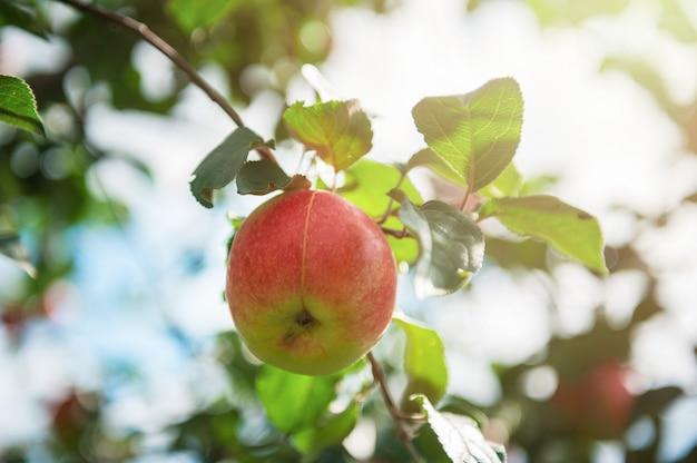 Macieira com maçãs