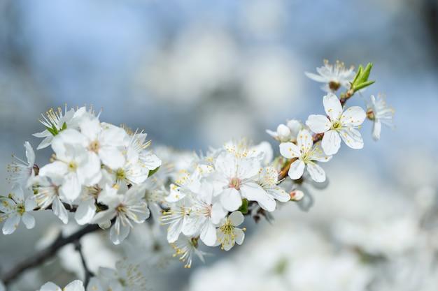 Macieira de ramo com flores brancas