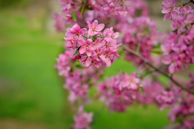 Macieira florescendo em um fundo de relva verde