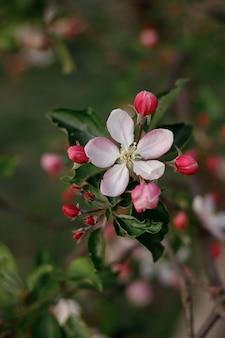Macieira florescendo na primavera no jardim