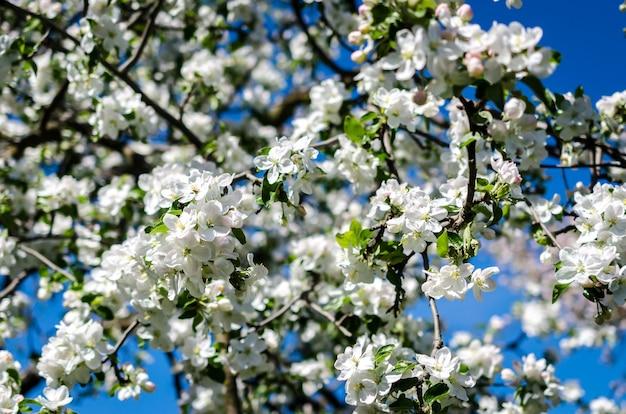 Macieira florescendo