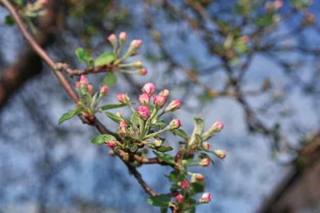Macieira florescida no fundo do céu azul.