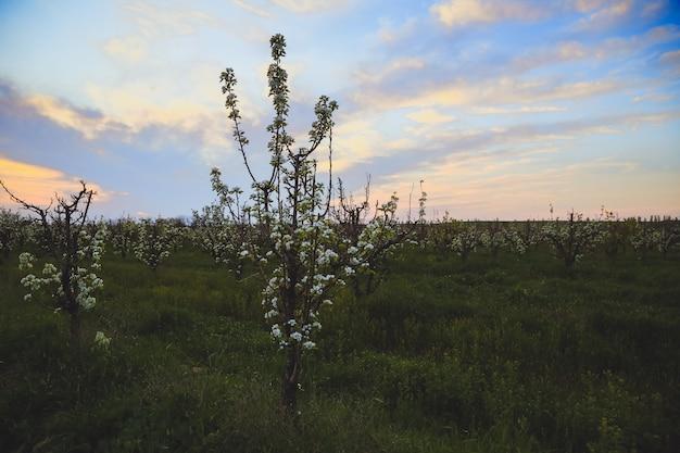 Macieira linda com flores