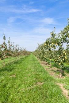Macieiras carregadas com maçãs em um pomar no verão