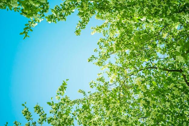 Macieiras florescendo brancas em um dia ensolarado de primavera no céu.