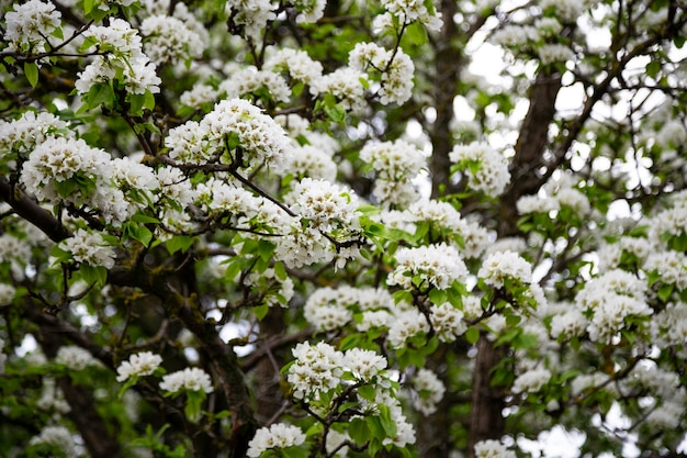 Macieiras florescendo brancas. temporada de primavera, cores da primavera. fundo floral natural de inflorescências brancas nos galhos de uma árvore frutífera