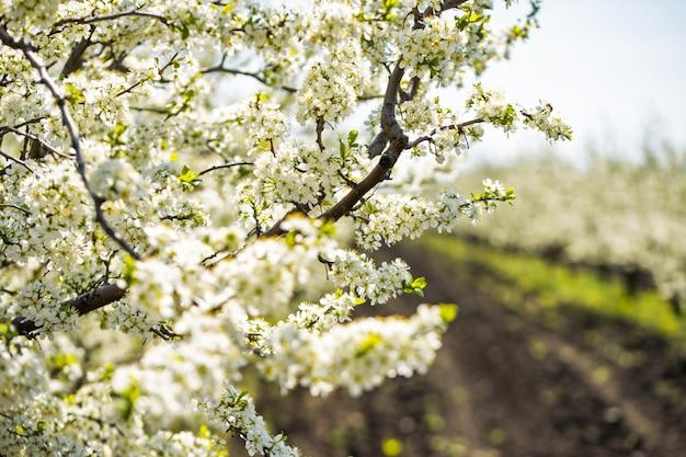 Macieiras florescendo no jardim