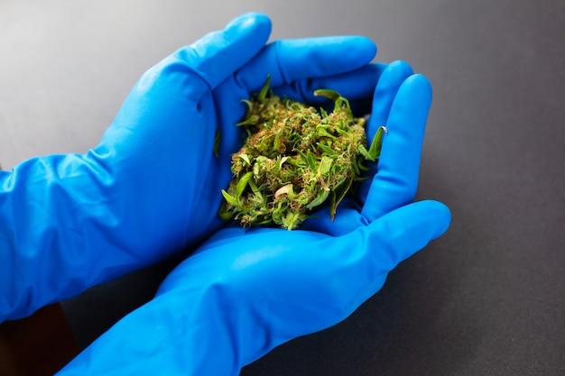 Maconha medicinal nas mãos de um médico em luvas médicas azuis.