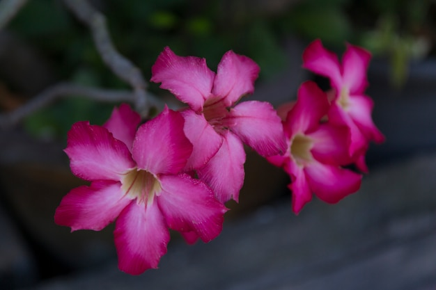 Macro adenium obesum rosa flores fundo
