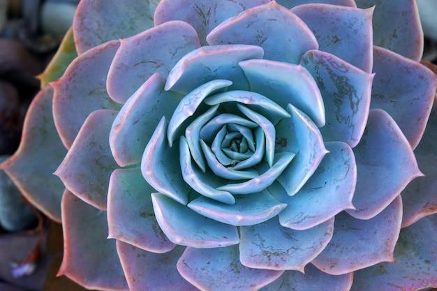 Macro azul planta suculenta fresca echeveria - fundo de textura - conceito azul da natureza, pano de fundo floral e detalhes bonitos