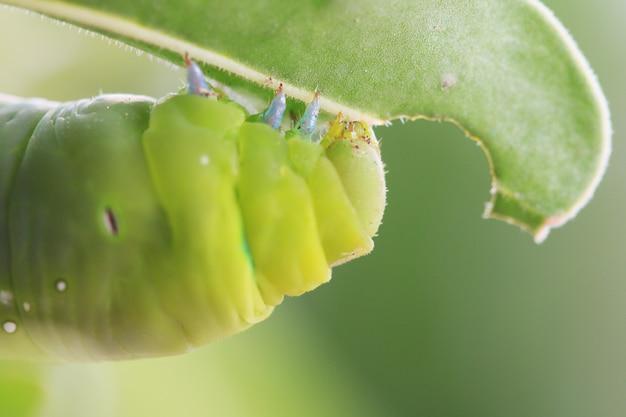Macro close-up caterpillar, verme verde